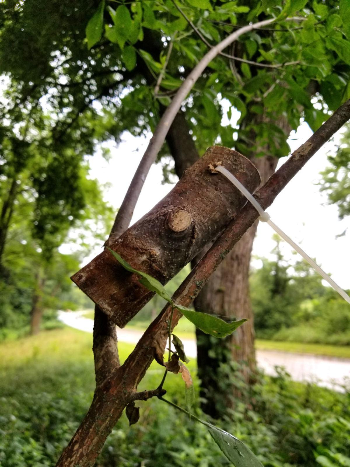 Ash borer wasps