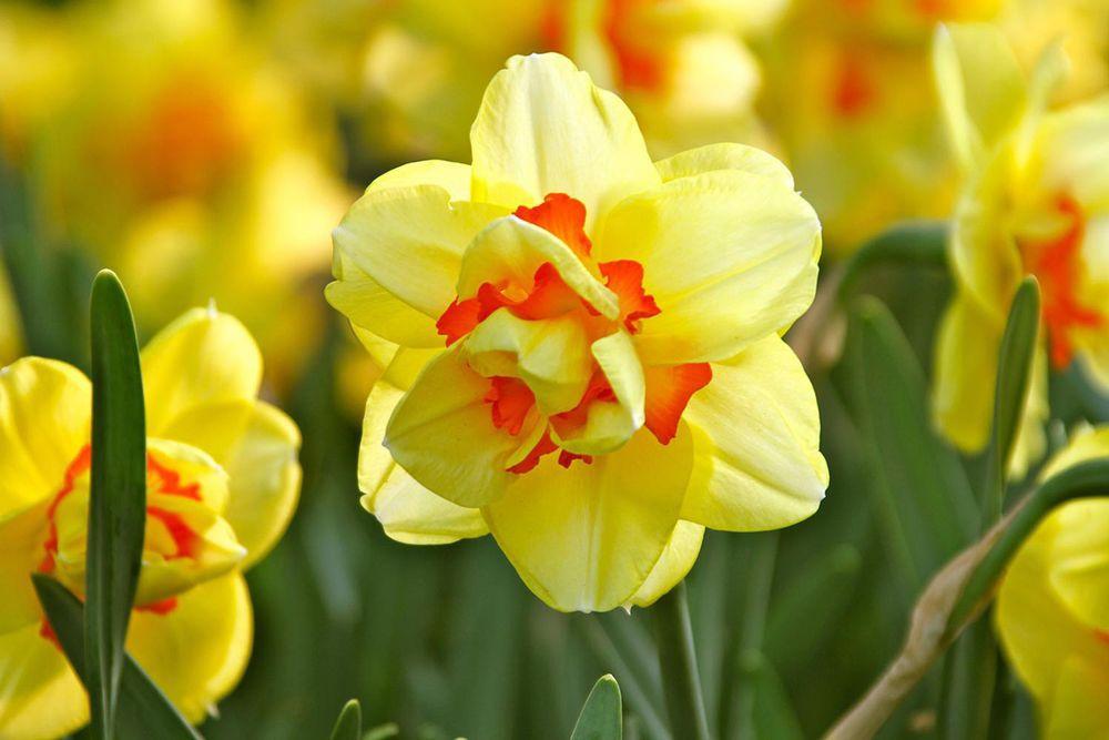 Sarah browning national garden bureau spotlights daffodils for