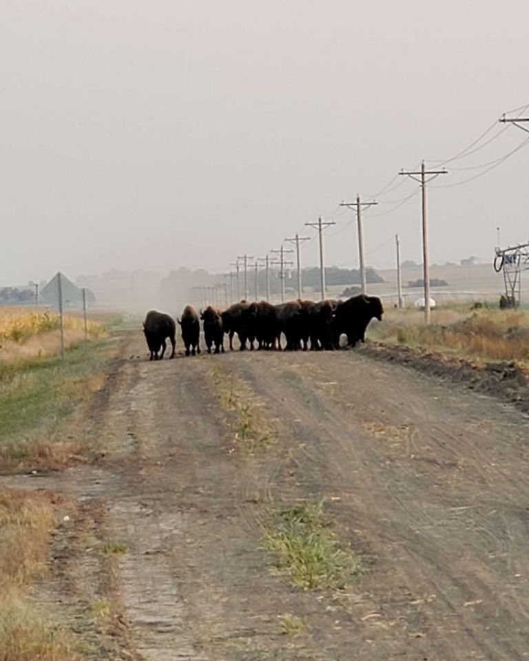 Watch Now Buffalo Are Roaming In Southern Nebraska After More Than 100 Escaped From Feedlot Wednesday Nebraska News Journalstar Com