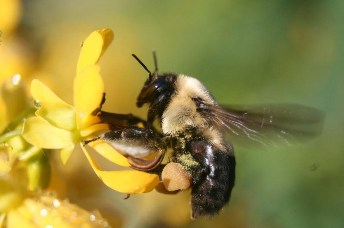 Bumble Bee on Wild Senna
