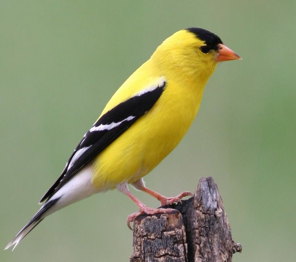 Goldfinches At Their Brightest In Summer Outdoors