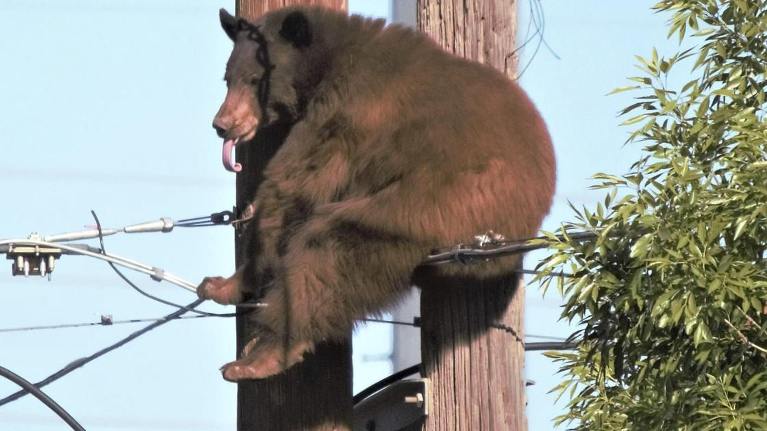 Bear does high-wire act on Arizona utility poles, and more of this week's weirdest news