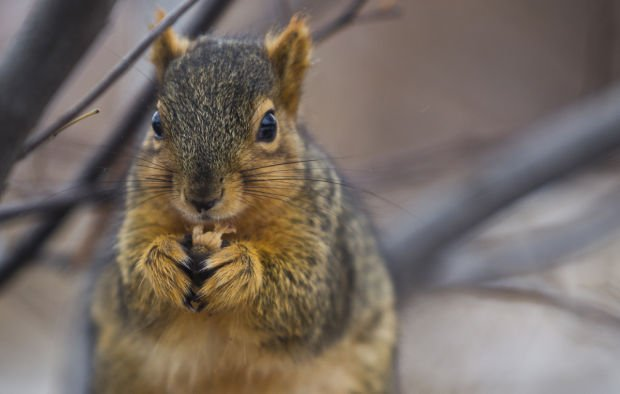 Cold Weather - Squirrel