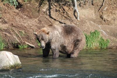 Fat Bear Week 2021 crowns its winner