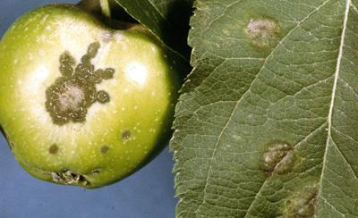Sarah Browning: Control apple disease in early spring | Home