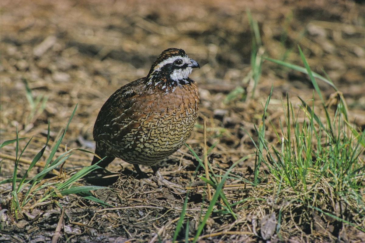Northern bobwhite populations make for bright hunting ...