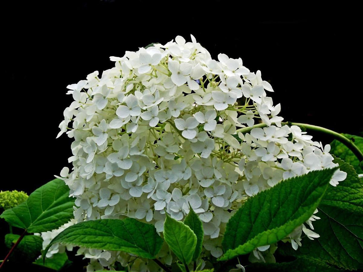 Sarah Browning Different Hydrangeas Different Pruning Strategies