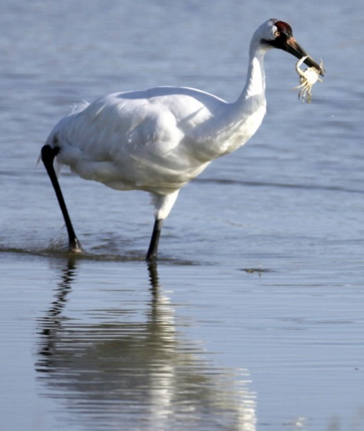 E Crane Rockport Tx Whooping cranes spotte...