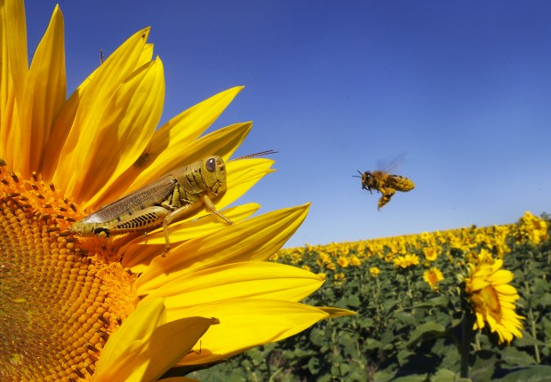 Sunflowers - Award winning