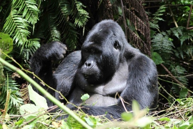Gorilla enjoys his lunch and guests