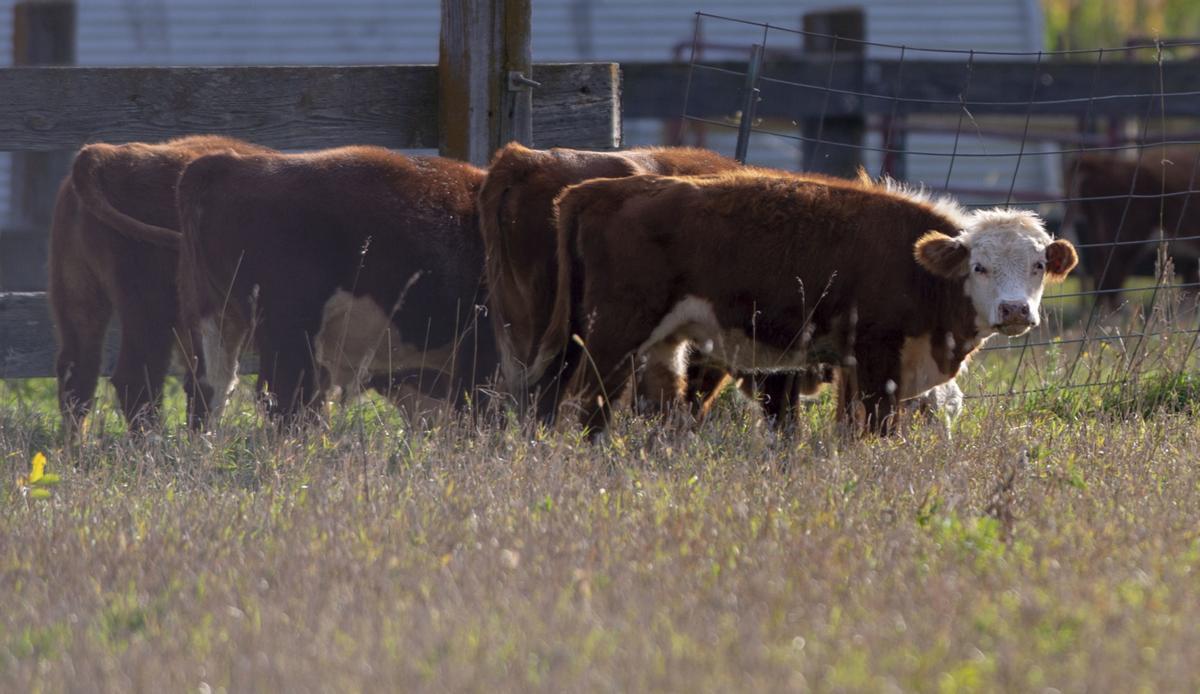 Cows, 9.30