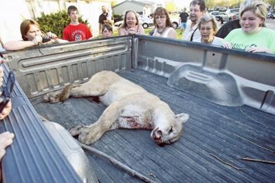 Kearney mountain lion