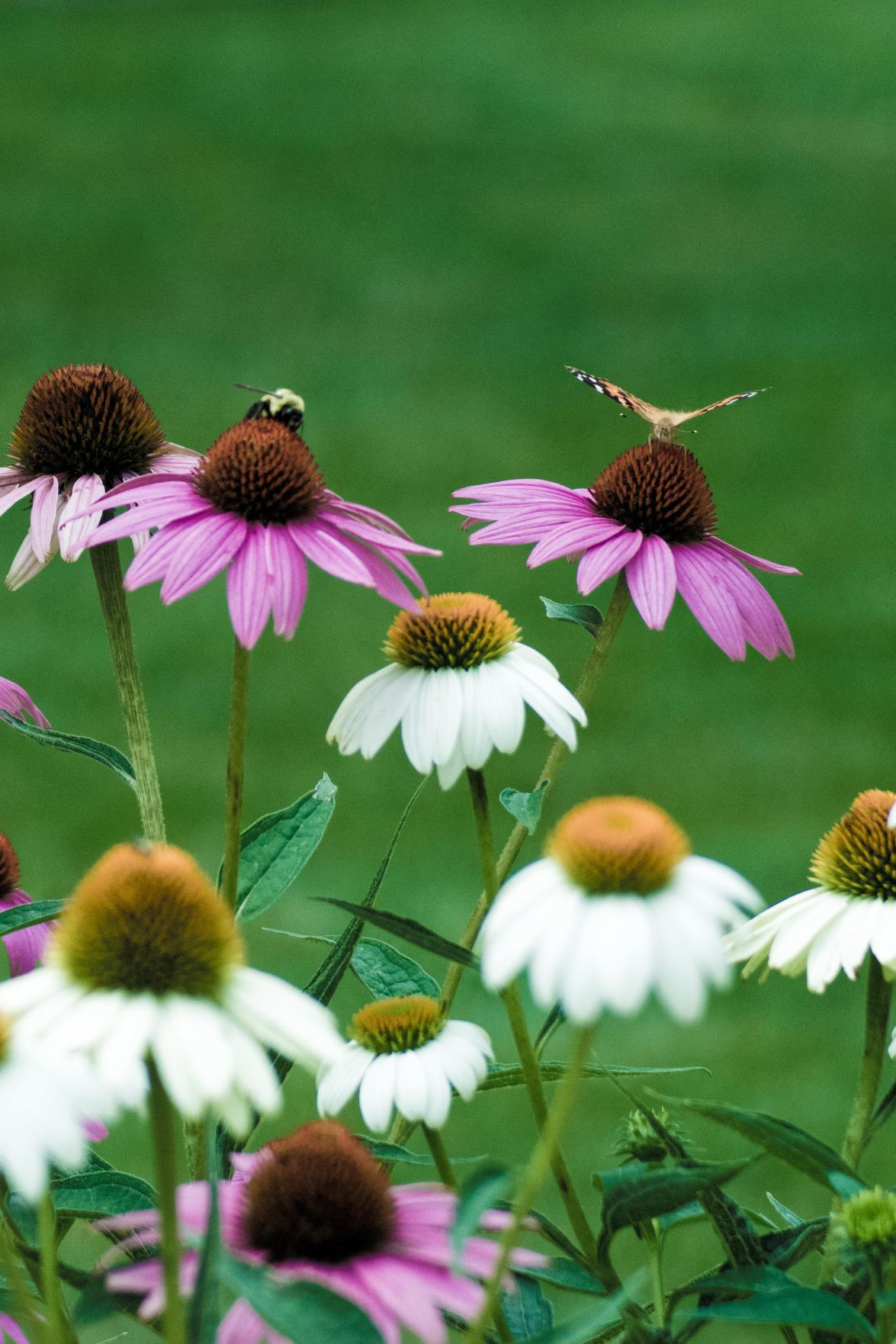 Bee & butterfly on coneflowers