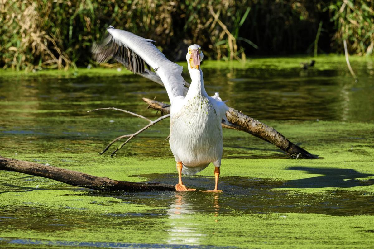 One-Armed Pelican