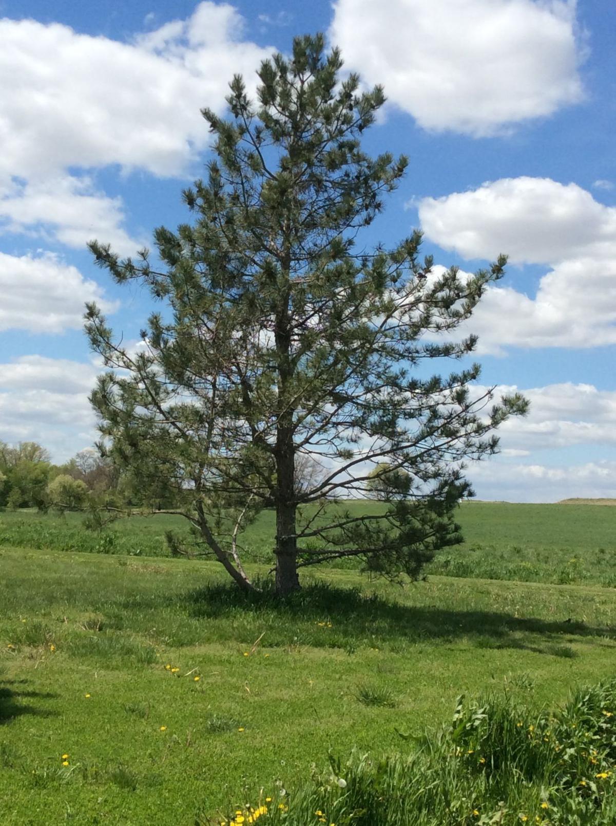 thintree