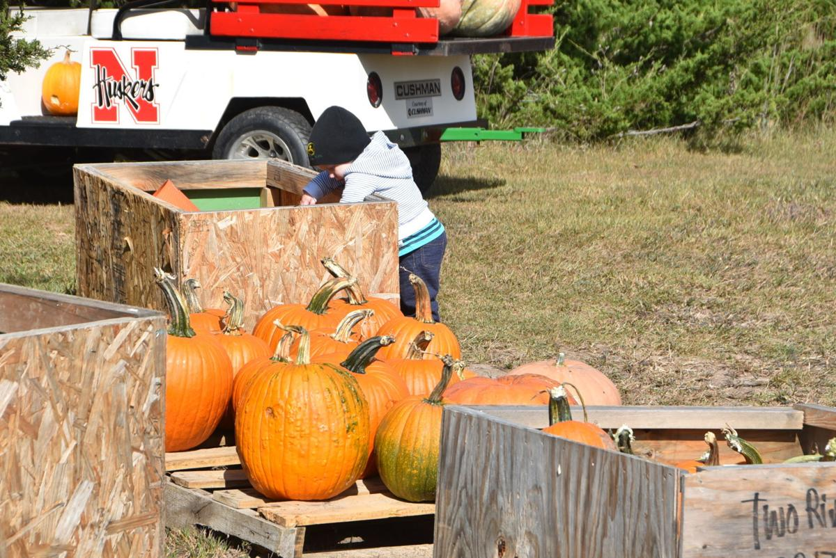 Timothy Meyer searches for the perfect pumpkin at Jurgens Pumpkin Patch in Jansen.