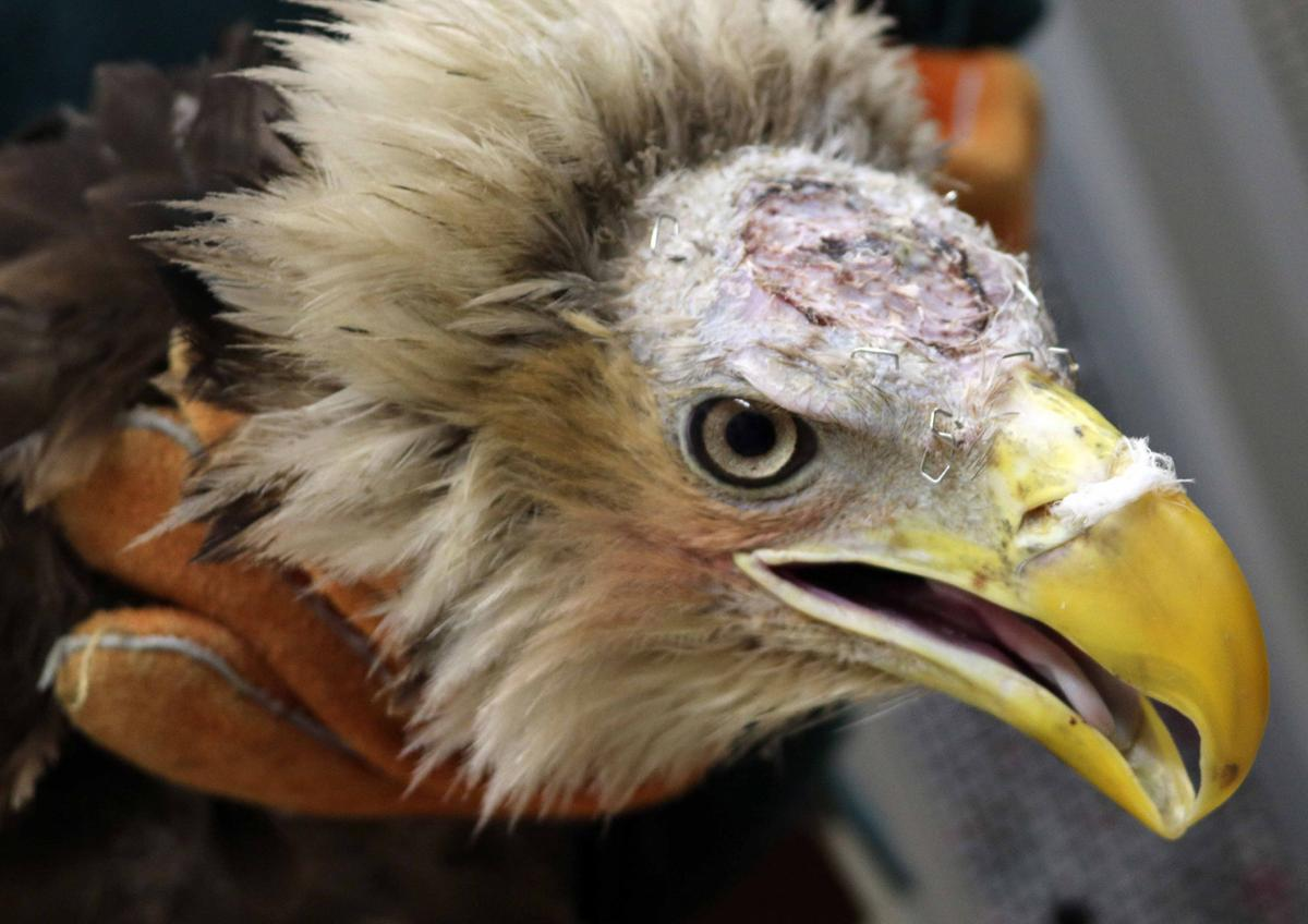 Bald eagle\'s skin graft successful, but bird will have bald spot ...