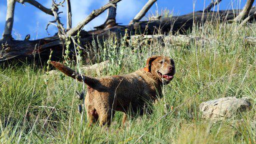 Nebraska monitors cougars with super-sniffing dog