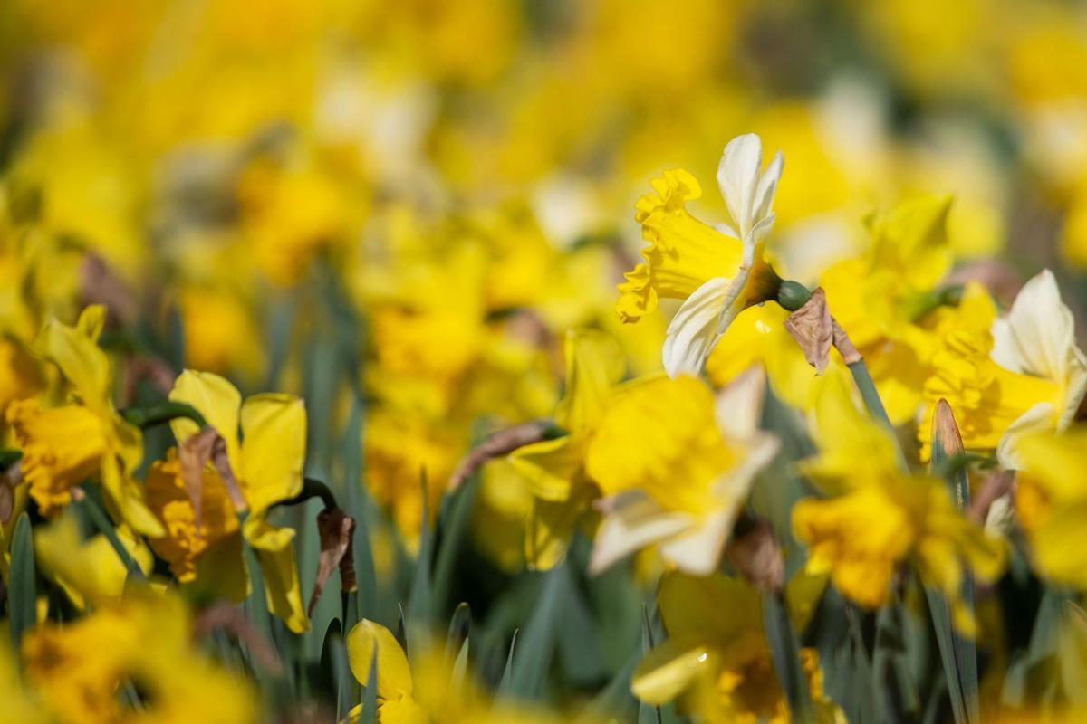041121-owh-new-daffodils-pic-cm002