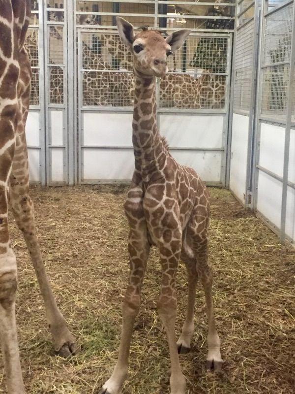 Henry Doorly Zoo Home To New Giraffe Calf Nebraska News