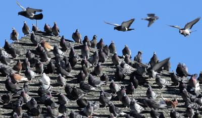 Encounter With Pigeon On Military Ridge >> No Easy Solutions For Downtown Pigeon Problem Local Journalstar Com