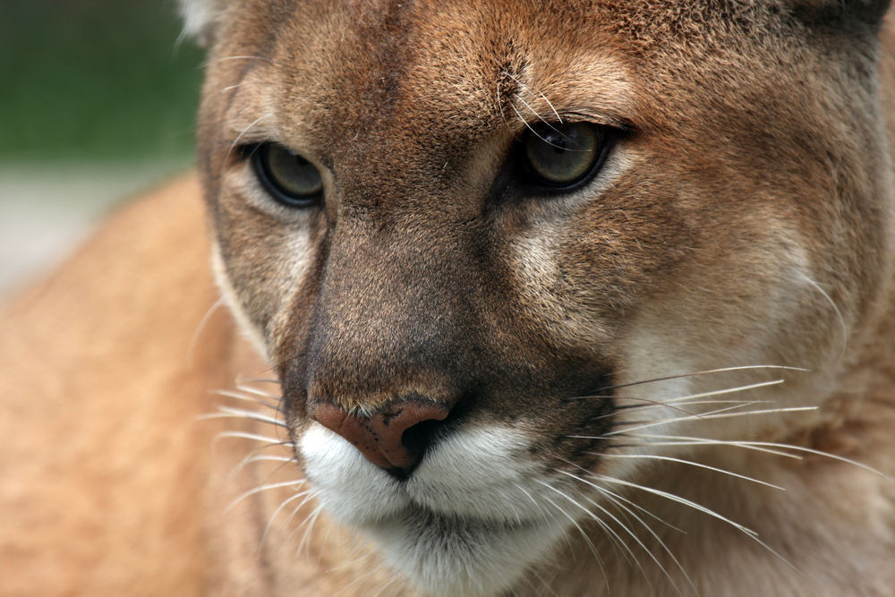 mountain lion hunt approved up to 8 cougars could be killed