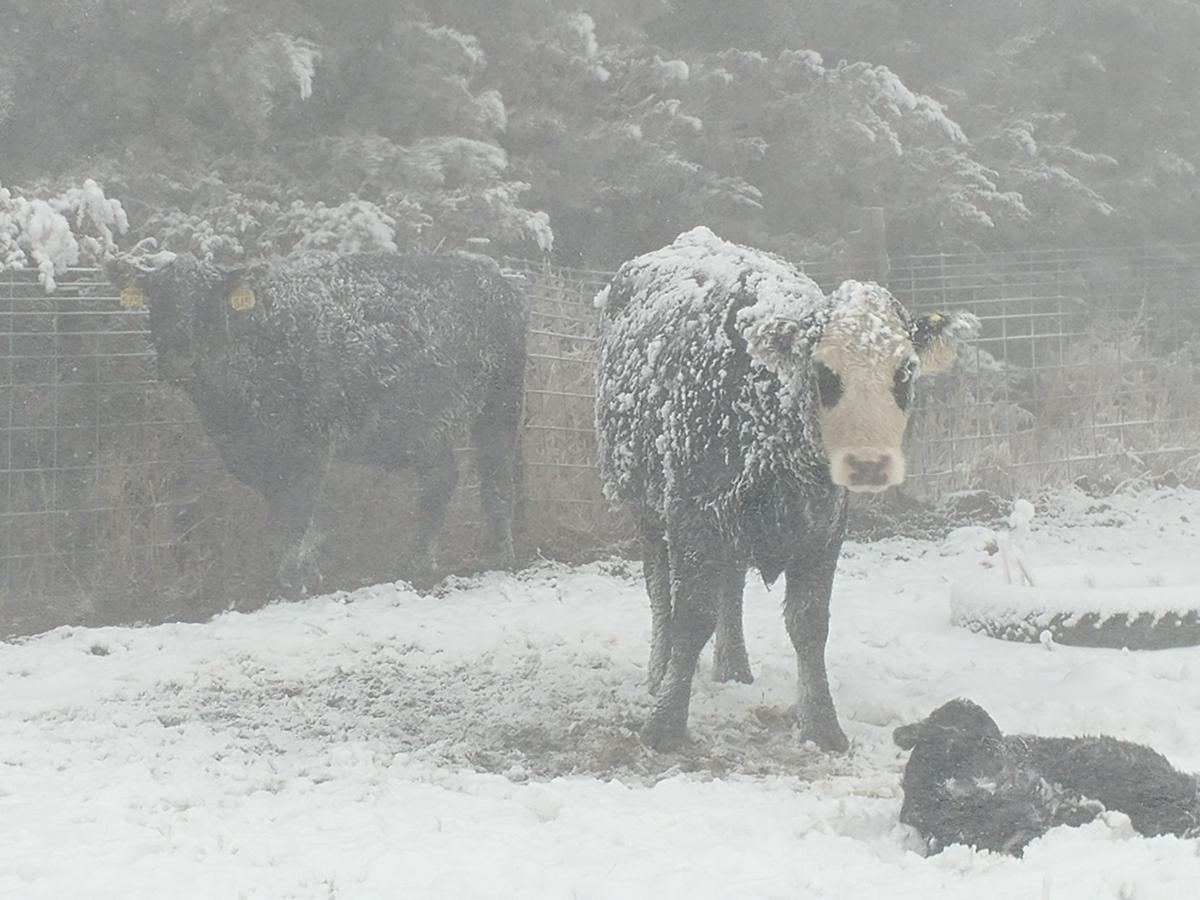 Mother cow and calf in blizzard