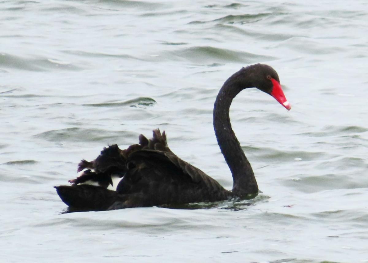 Black swan on Tichigan Lake