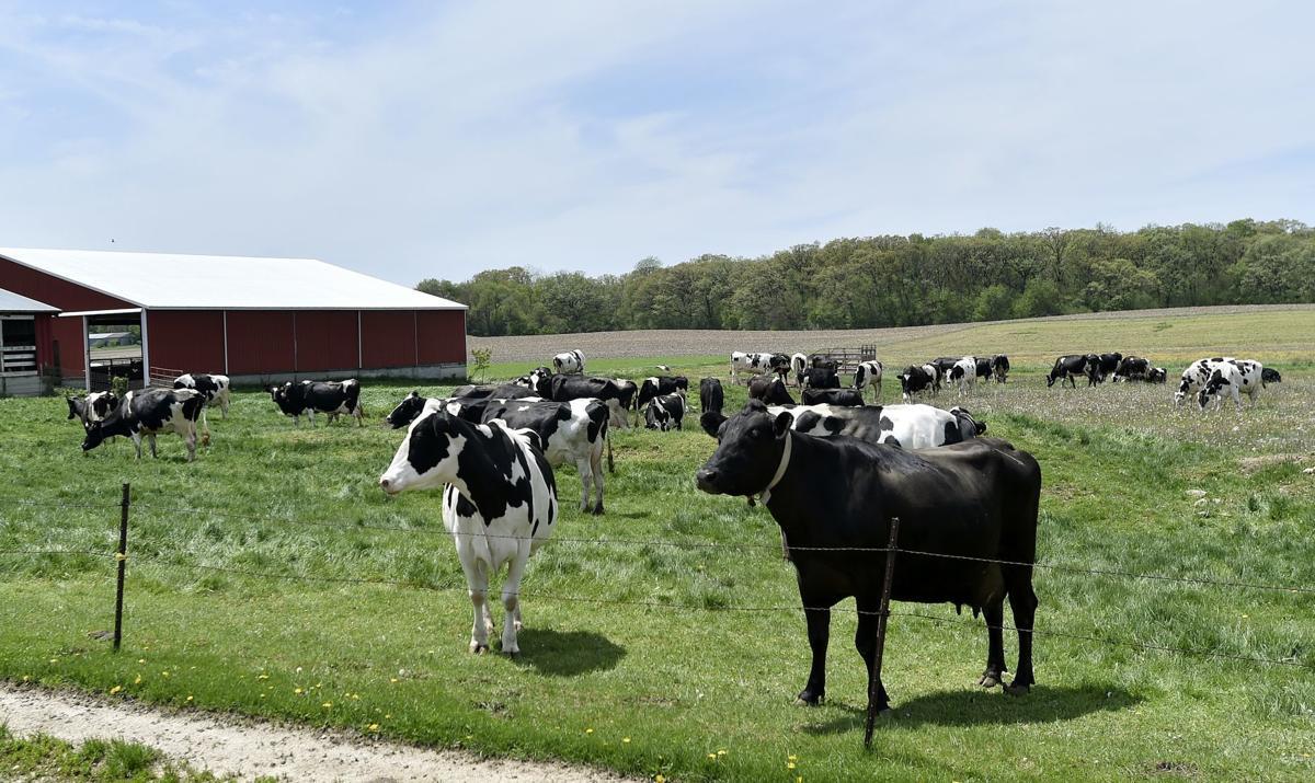 Romari Farm Cows