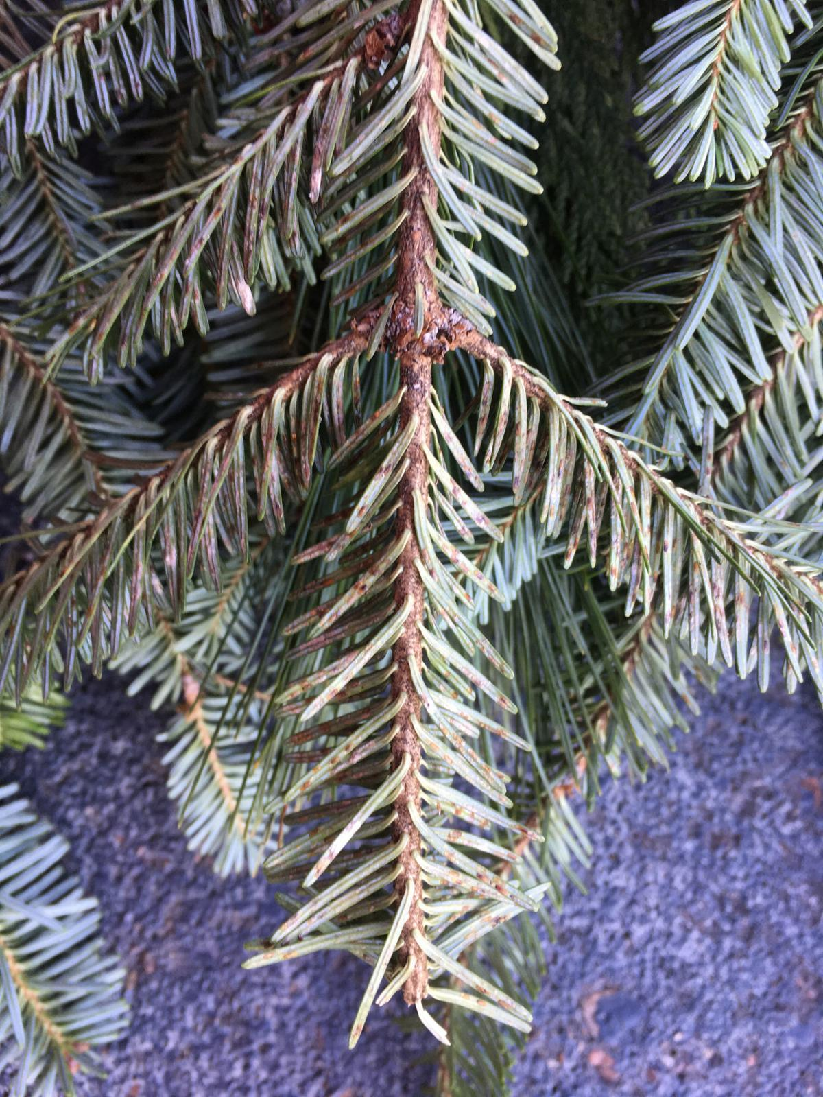 Christmas trees still OK to recycle, but throw away wreaths