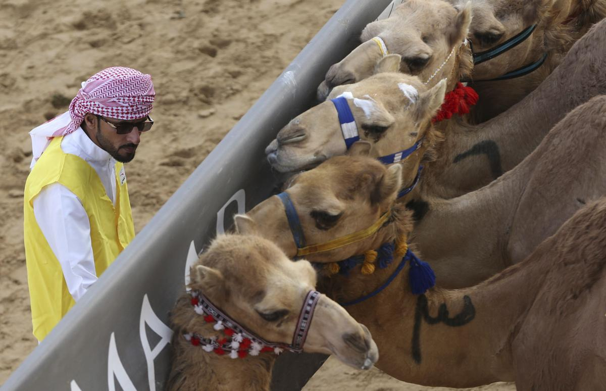 Dubai Photo Gallery Big Money Camels