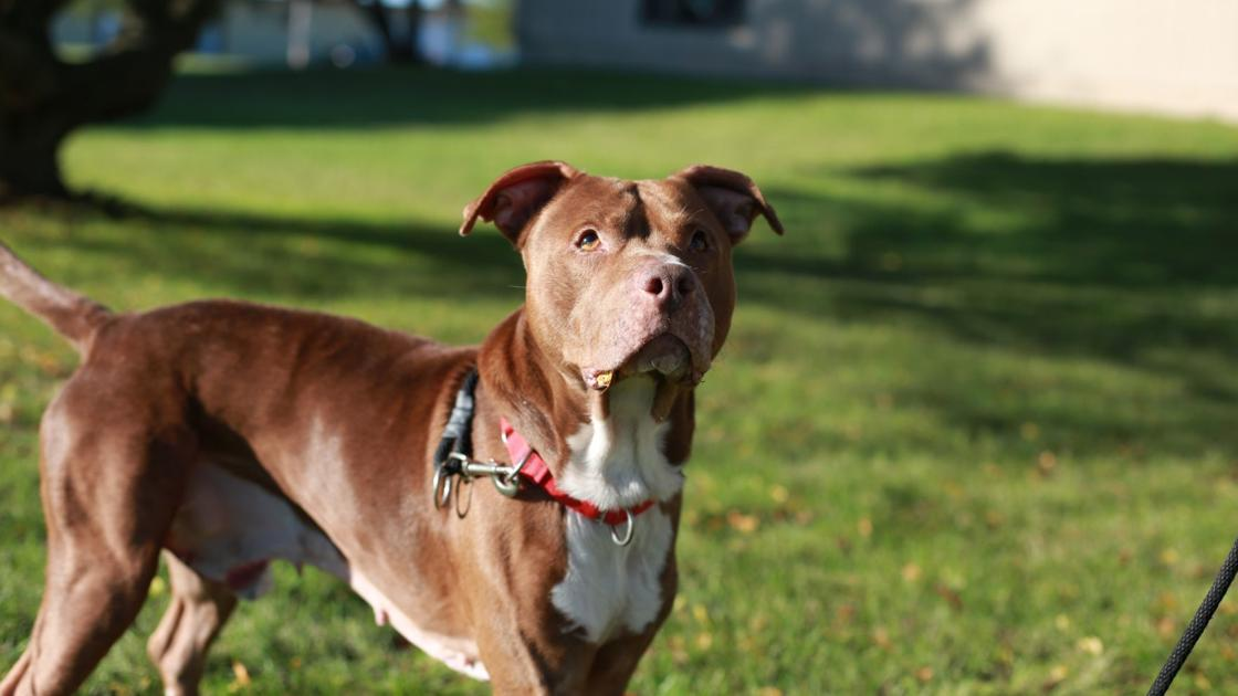 Yorkville lifts 23-year pit bull ban | Crime and Courts