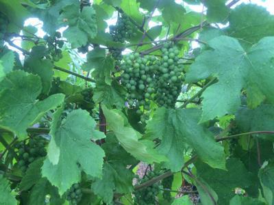 Fruit clusters of a grape vine