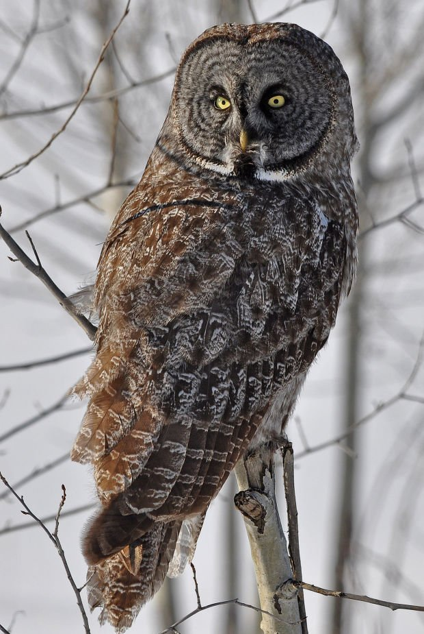 Focus Lee County >> DNR warns owl viewers to keep distance