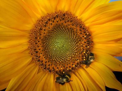 Around the Sun(flower)