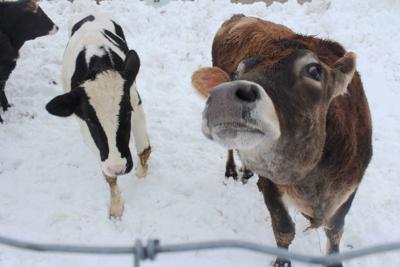 Ken Hegeman's cattle