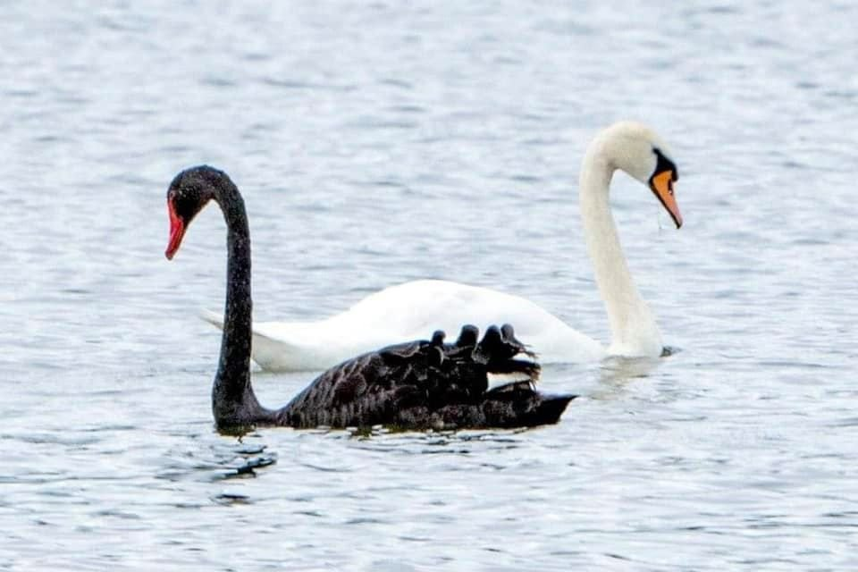 Black swan pictured with white swan on Tichigan Lake in Racine County