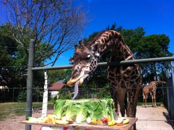 Celebrating giraffe birthdays Racine Zoo throws a party for Bo