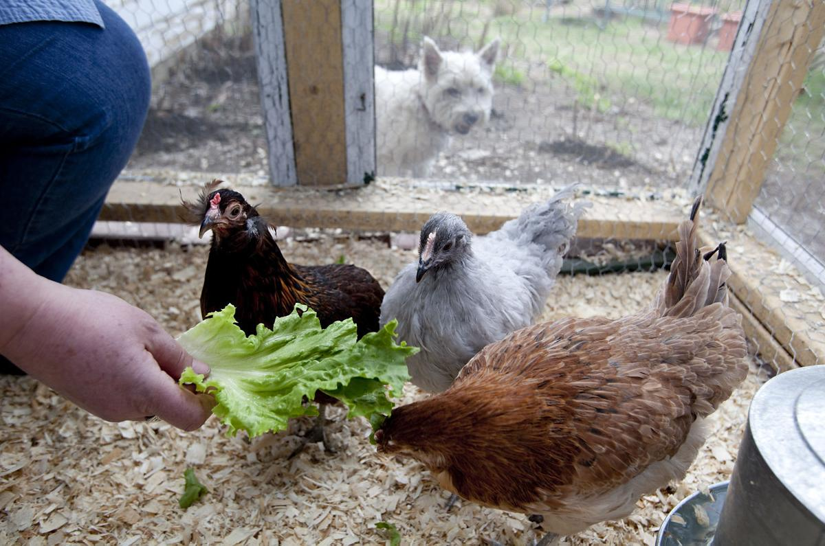 town of waterford to discuss allowing chickens in residential
