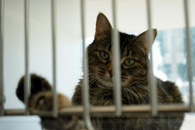 A cat paws the bars of its kennel in the Lawrence Humane Society