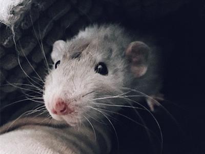 CHALK Rats