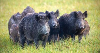Wild hog populations are still booming