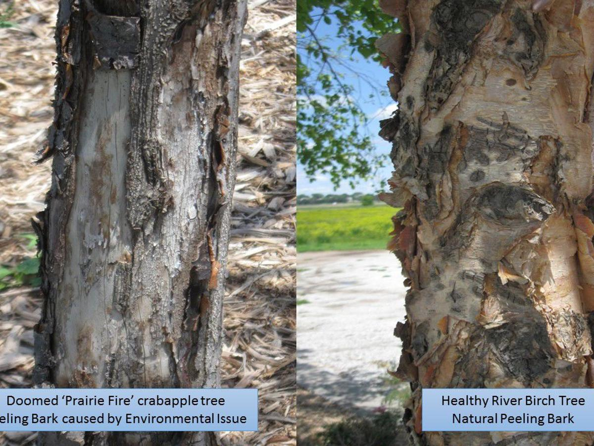 Shedding Bark Could Be Natural Or Indicate Problems Lifestyles Kearneyhub Com