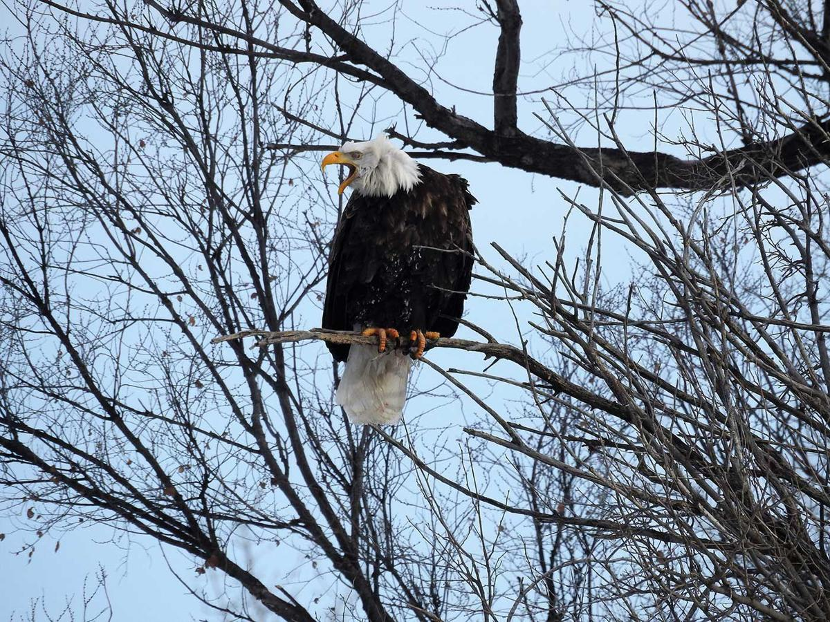 All eyes on eagles: CNPPID offers opportunity to view bald eagles at ...