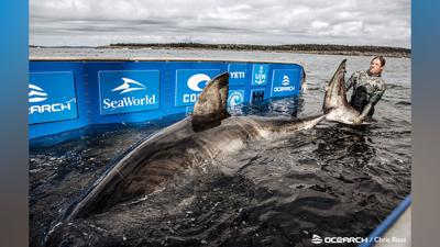 Massive, 50-year-old great white shark dubbed 'Queen of the Ocean' caught off Nova Scotia