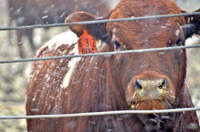 Steer cow in pen