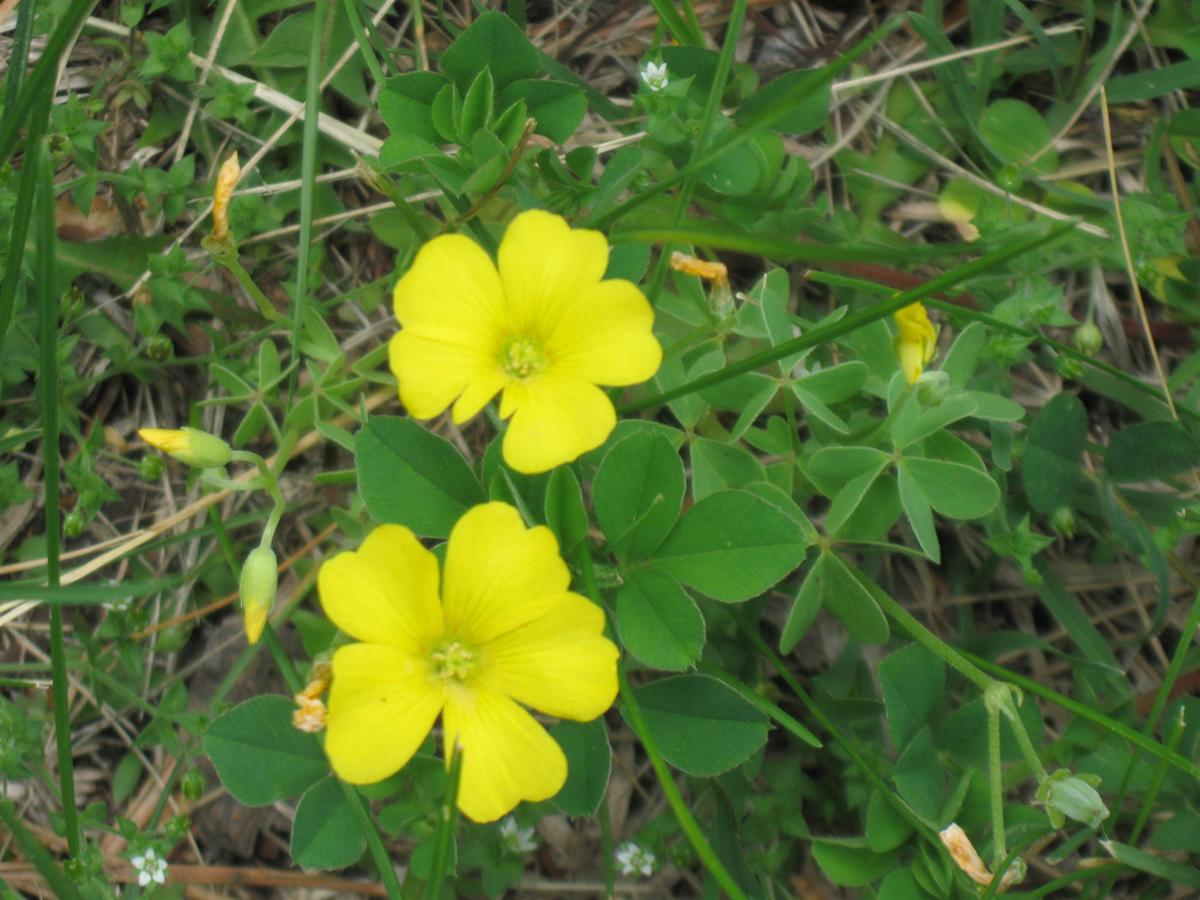 Yellow Wood Sorrel A Lemony Attractive Weed Yard And