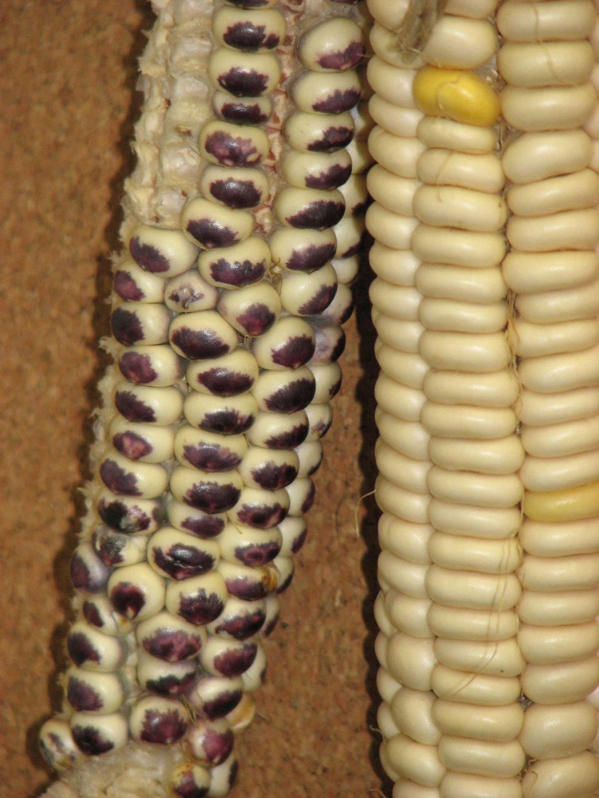 Eagle corn