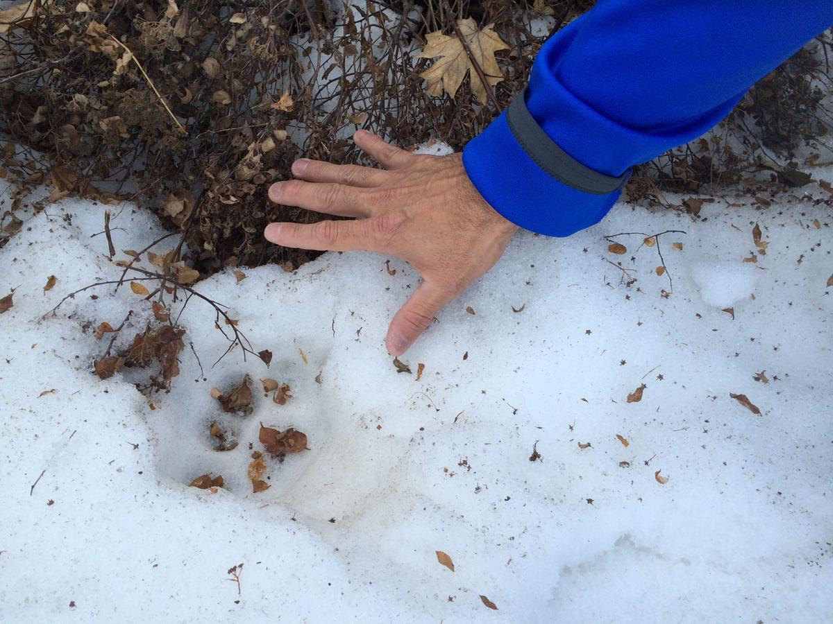 Sizing up the Paw Print