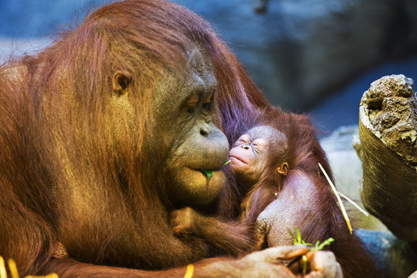 Omaha zoos baby orangutan now has a name regional kearneyhub sepilok holds her baby at the henry doorly zoo and aquariums hubbard orangutan valley on dec 11 2014 publicscrutiny Image collections